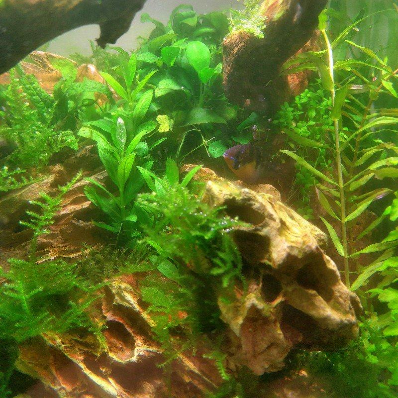 水草造景-30立方水草短鯛缸 草山高岩造景