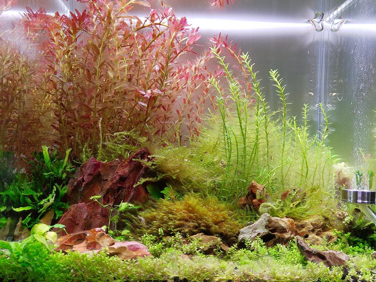 以紅宮廷綠宮廷為主的水草缸