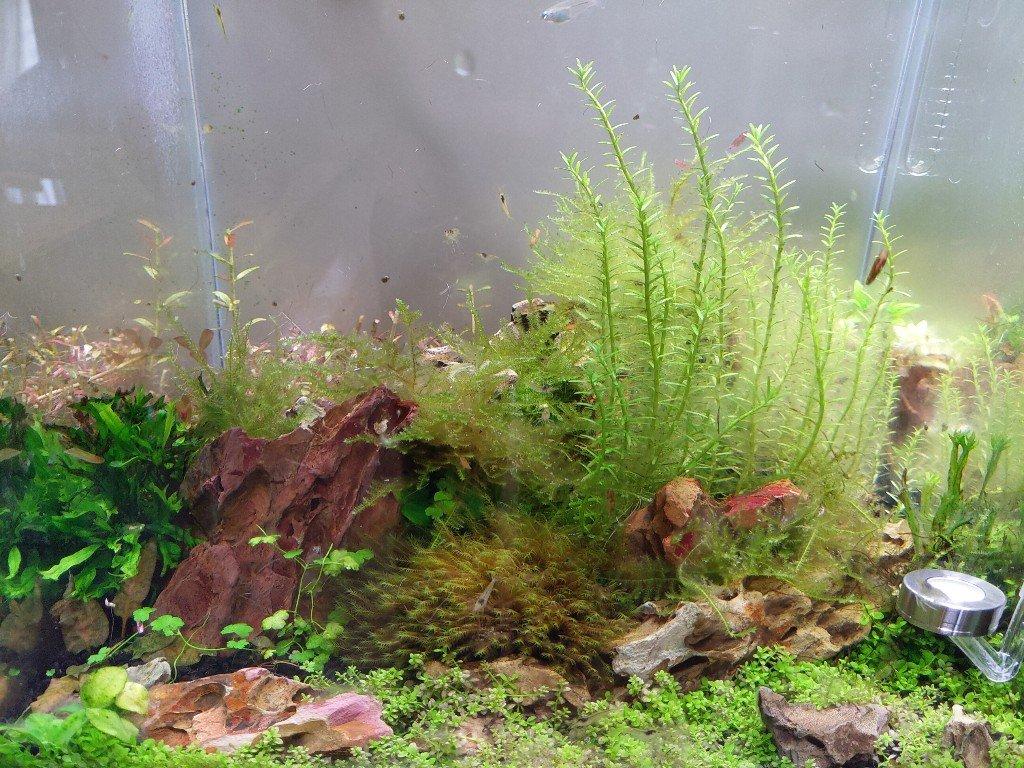 可行嗎?使用稀釋的漂白水去除水草上的藻類