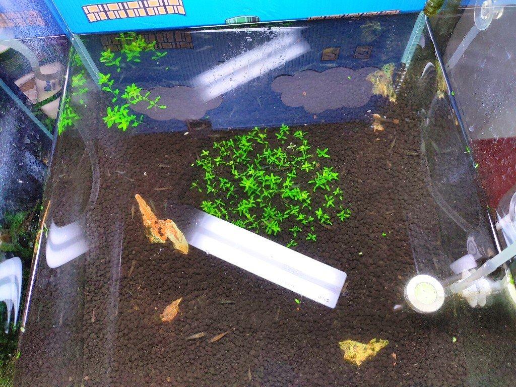 以日本珍珠草為主景的30立方水草缸