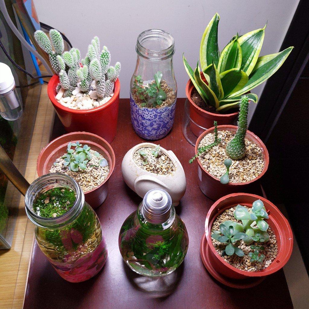 室內多肉盆栽+ONF植物燈 生長紀錄(不斷更新)